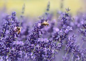 lavender 1537694 1280 300x213 - Experience community management